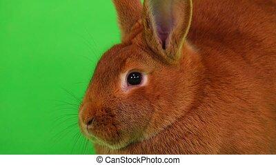 rabbit on green screen - portrait rabbit( six months) on...