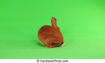 rabbit on green screen - rabbit of (six month) s moves on a...