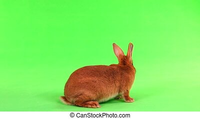 rabbit on green screen - rabbit of six months moves on a...
