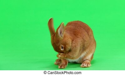 rabbit on green screen - rabbit ( six months) is washed with...