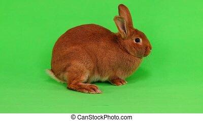 rabbit on green screen - rabbit ( six months) of six months...