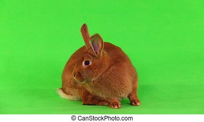 rabbit on green screen - rabbit( six months) on green screen