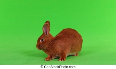 rabbit on green screen - rabbit ( six months) on green...