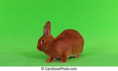 rabbit on green screen - rabbit ( six months) on green...