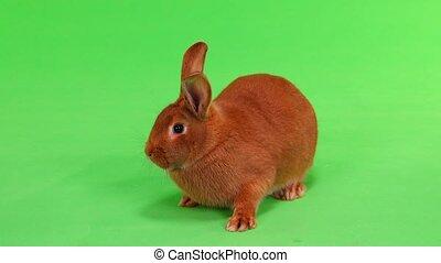 rabbit on green screen - rabbit( six months) on green screen