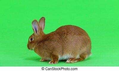 rabbit on green screen - rabbit ( six months) turns around...