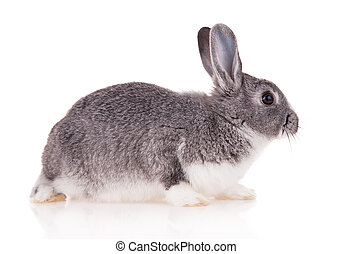 Rabbit on white background - Studio shot of domestic rabbit...