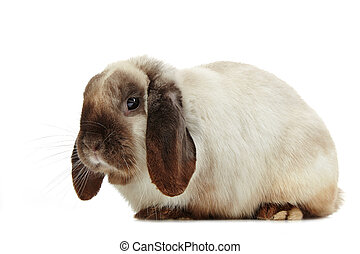 rabbit - portrait of rabbit on a white background