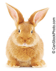 Rabbit - Isolated image of a brown bunny rabbit.