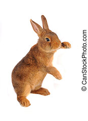 rabbit  - Standing a rabbit on a white background