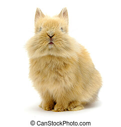 rabbit  - Small brown rabbit isolated on white