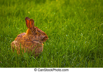 Rabbit relaxing in the grass