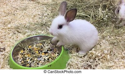 rabbit. Small rabbits eats grain eat from the trough,...