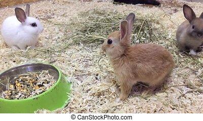 rabbit. Small rabbits eats grain eat from trough, the rabbit...