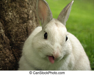 Rabbit Sticking out his Tongue - male dwarf rabbit pet with...