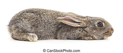 Rabbit - Isolated image of a gray bunny rabbit.