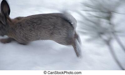 Rabbit walks through the snow. Full HD