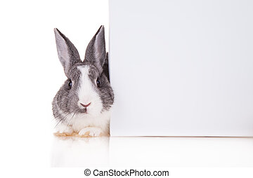 Rabbit with blank sheet on white background - Studio shot of...