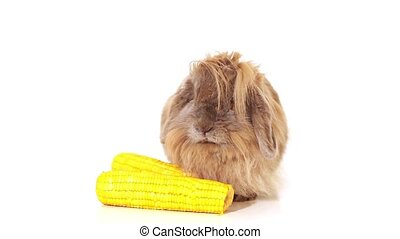 rabbit with yellow corn on white - rabbit eating sweet...