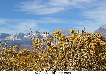 Rabbitbrush in fall