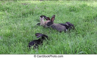 Rabbits are walking on a meadow and eating grass