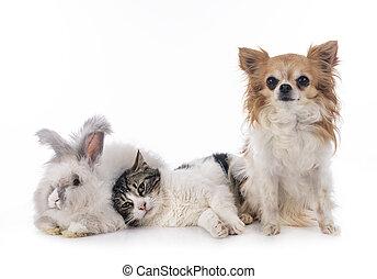 rabit, chihuahua, gato