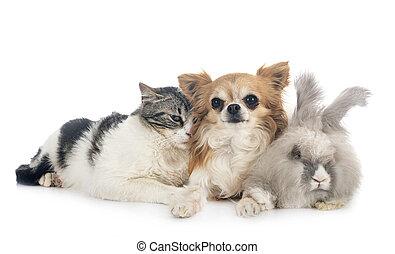 rabit, gato, chihuahua