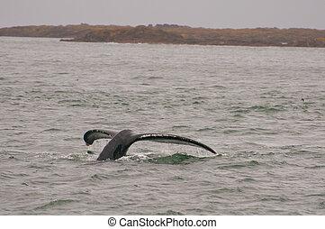 rabo, humpback, trematodo