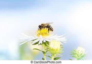 raccolta, fiore, aster, nettare, ape
