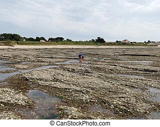raccolta, persone, francese, unrecognizable, linea costiera, ostriche