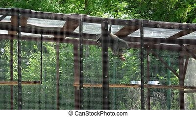 raccoon animal climbing on zoo cage. 4K