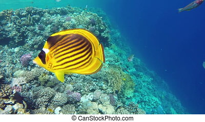 Raccoon butterflyfish closeup in Red sea, Egypt
