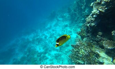 Raccoon butterflyfish in Red sea, Egypt