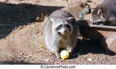 Raccoon Eating Apple