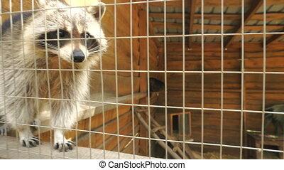 Raccoon in a zoo in Aviary outdoors