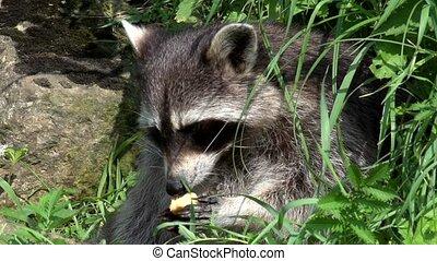 Raccoon in summer