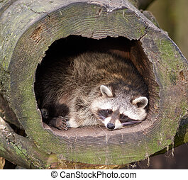 Raccoon lying in a hollow log