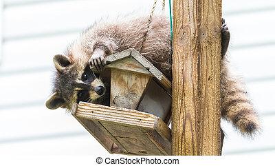 Raccoon, on a bird feeder in Eastern Ontario.