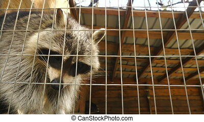 Raccoon outdoors in a cell Zoo close up