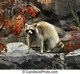 raccoon on a stone