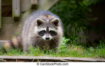 Raccoon (Procyon lotor) looking for food on a front lawn.