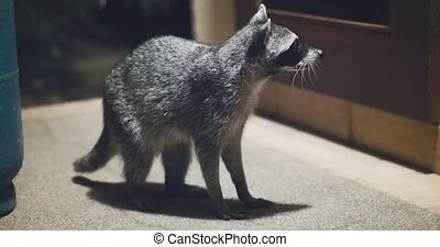 Raccoon (Procyon lotor) scavenging for food at night. Rare footage.