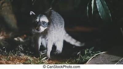 Raccoon (Procyon lotor) scavenging for food at night. Rare...