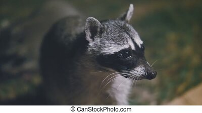 Raccoon (Procyon lotor) scavenging for food at night. Rare ...
