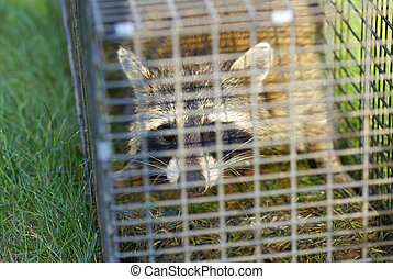 A raccoon in a trap loking directly at the viewer