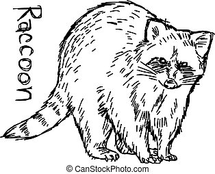 raccoon - vector illustration sketch hand drawn isolated on white background