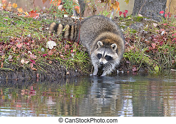 Raccoon Washing its Food in the Water