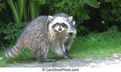Raccoons Eating