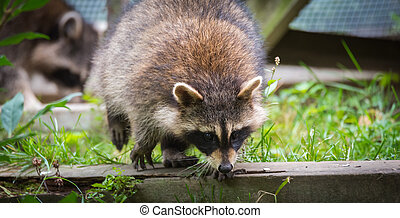 Raccoons (Procyon lotor(s) in the woods at a feeder. Smart young animals playfully and shyly make an appearance from the woods.