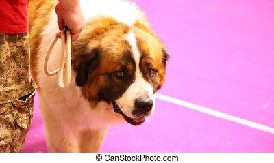 race, moscou, participates, chien, exposition, chien garde